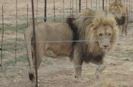Fraråder danske jægere at jage løve i Sydafrika