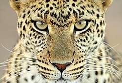 Ulovlig leopardjagt kommet for en dag