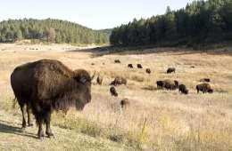 Bisonen vender tilbage til dansk natur