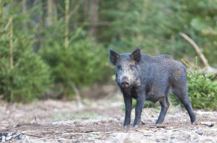 Priserne på vildsvinekød i frit fald i Tyskland