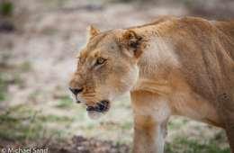 Asiatisk efterspørgsel af løveknogler kan føre til krybskytteri