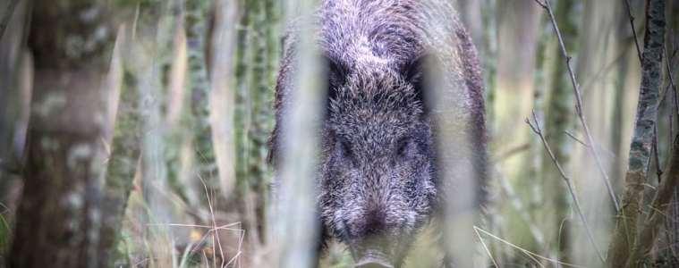 Tysk delstat forlænger jagttid på vildsvin