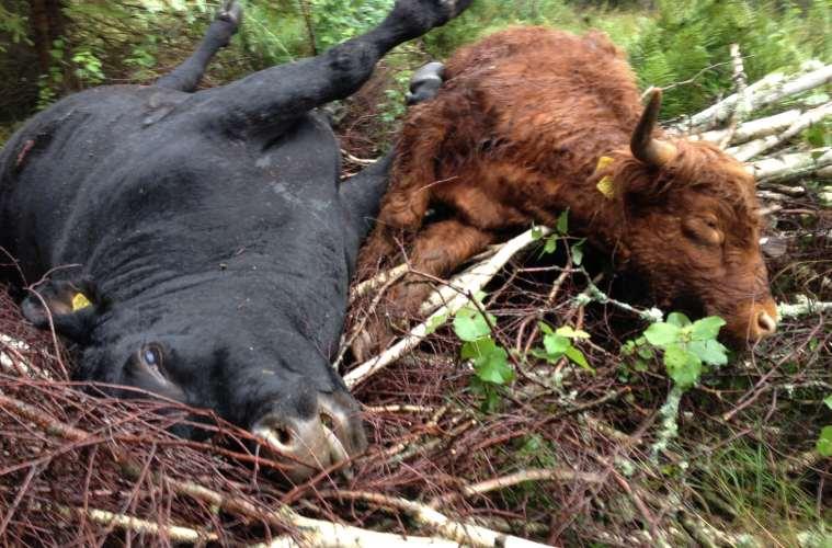 Uheldig dansk vildsvinejæger nedlægger to svenske køer