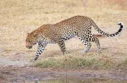 Leopard optræder som man-eater