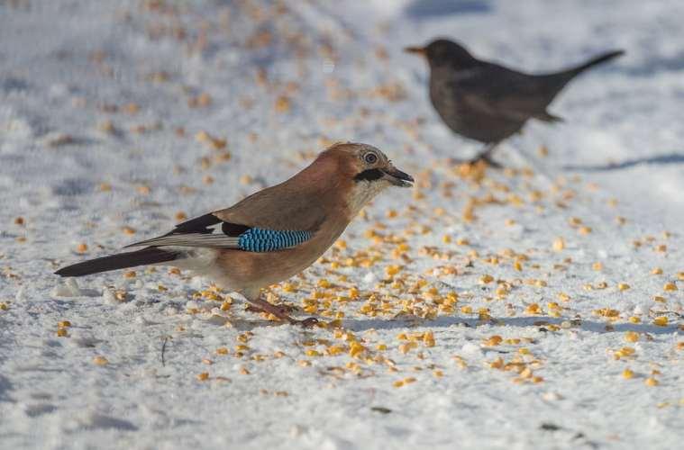 Frostgraderens indtog sender sæsonen for fodring på vingerne
