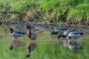 Andetræk og udfodring ved søer