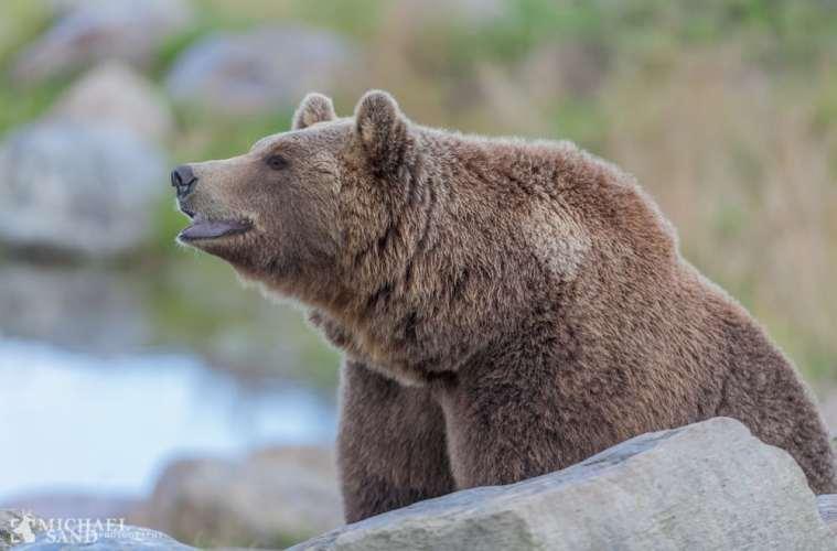 Bjørnefamilie har rasteret en hytte i Nordnorge