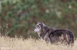 Dietmarsken rummer måske snart et ulvekobbel