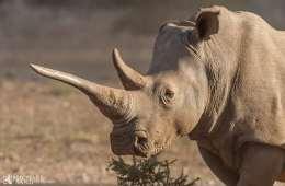 Næsehorn: 500 kg horn på lovlig online auktion