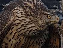 Rovfugle dræbt af ulovlig gift – se antallet her