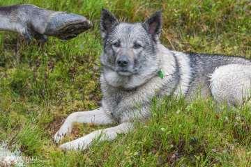 VIDEO: Jämthund angribes af ulv