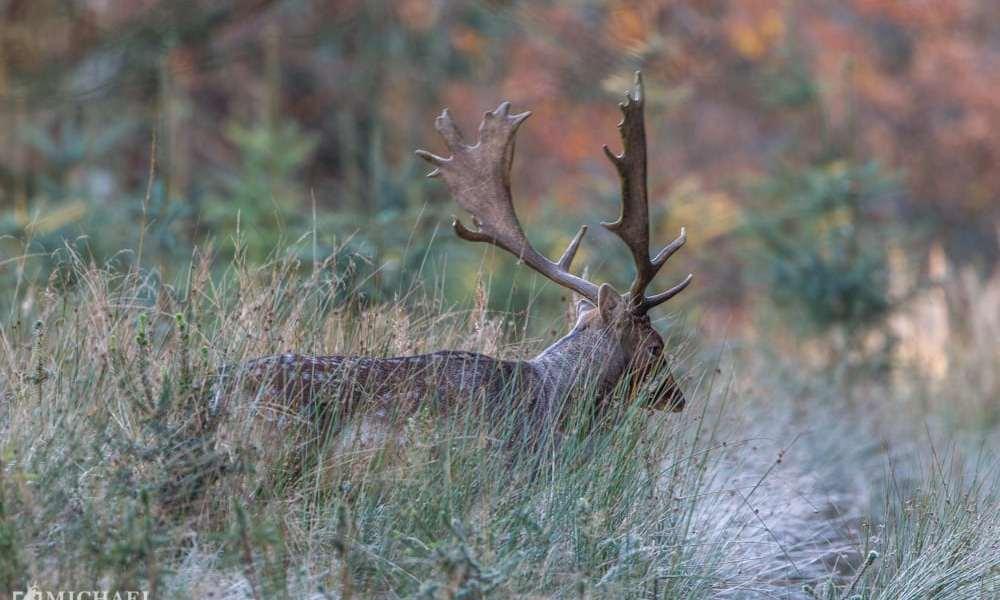 Dåvildtet – hjortearten der forsvandt og kom igen