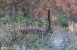 Dåvildtet - hjortearten der forsvandt og kom igen