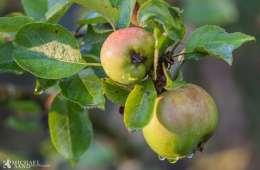Kend dine vildtplanter: Vildæble - Netnatur