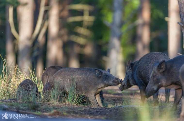 Svenskerne vil vide mere om deres vildsvin