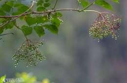 Kend dine vildtplanter: Almindelig Hyld