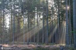 Nyt stort projekt skal omdanne nåletræsplantager til varieret skov