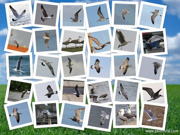 Måger