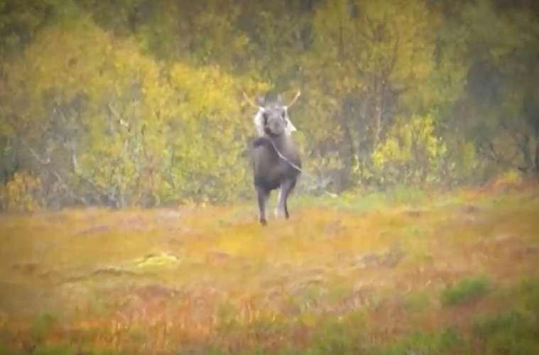 Video Elgjagt i Norge
