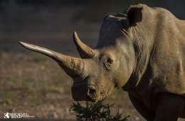 Rhino netnatur