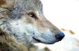 Ulvejagt i Sverige truer ikke bestanden