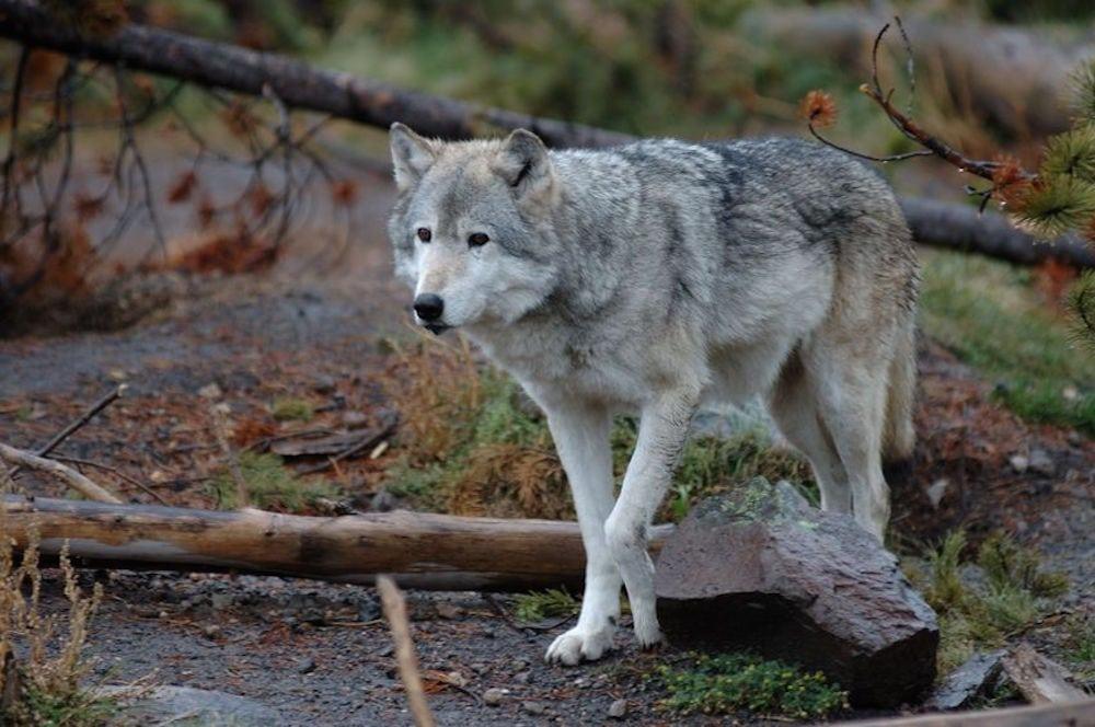 Tyskland: Jæger skød mod angribende ulv