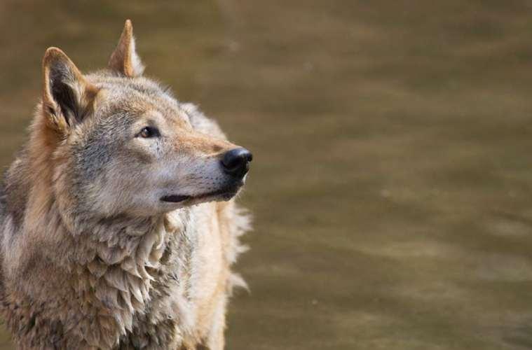 Nyt ulveatlas fra Naturhistorisk Museum