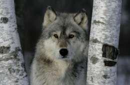 Hjælp forskerne med overvågningen af ulve i Danmark