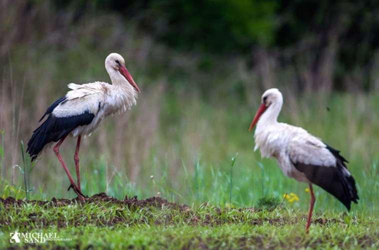 Udsigt til flere hvid stork i Danmark i år