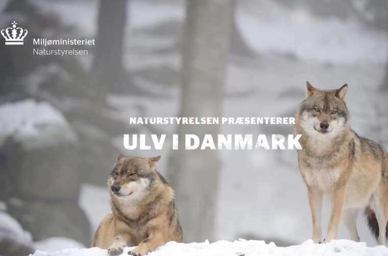 Video info om ulven i danmark