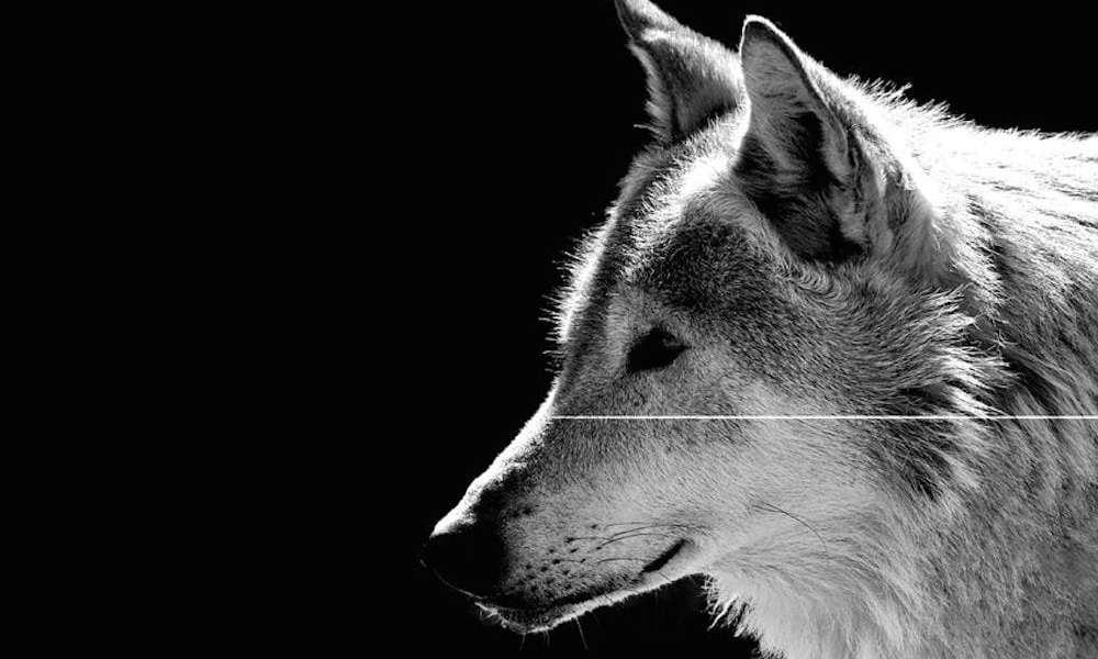 EU-svar på landbrugets krav: Ulve kan ikke bare skydes