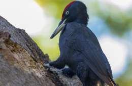 Sjældne ynglefugle er i farezonen
