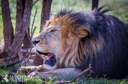 Australsk forbud mod løveimport