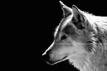 Danske ulve hviler sig i dagtimerne