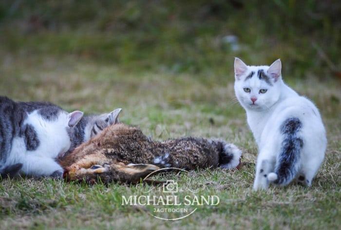 Australien erklærer de vilde katte krig