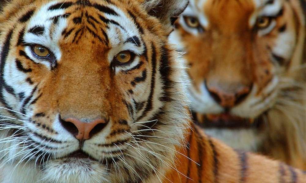 Nye tal på verdens tigre
