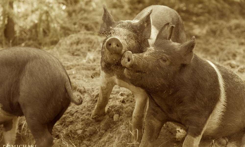Rokoko: Ingen nåde! Så skal svinene skydes
