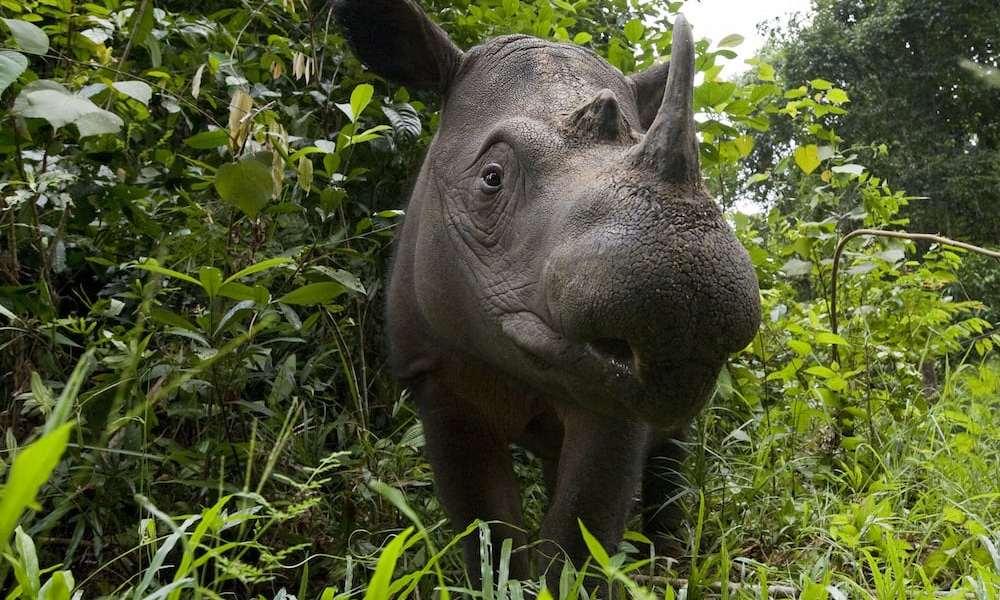 Verdens særeste næsehorn tæt på udryddelse