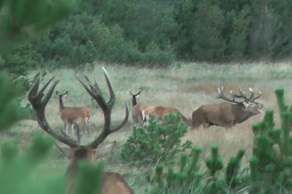 VIDEO: Kronvildtbrunst i Hjardemål