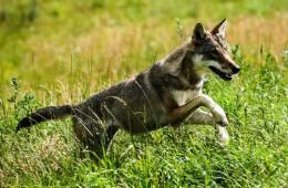 Vilde hunde rykker ind i Norge
