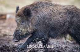 Naturen netop nu: Vildsvinene er i brunst