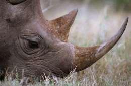 For første gang siden 2007 falder krybskytteriet mod næsehorn i Sydafrika. Til gengæld er der sket en alarmerende stigning i antallet af næsehorn dræbt i nabolandene ...