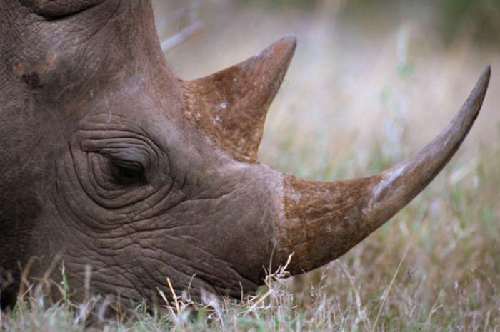 Stadig katastrofalt mange næsehorn dræbes