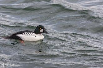 Udsigt til fødemangel for vandfugle i fjordene