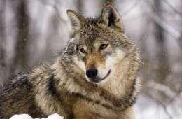 Hund måske angrebet af ulvepar