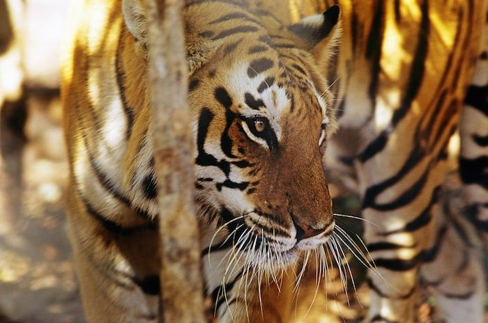 Korridorer kan redde tigeren