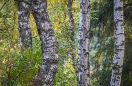 Birketræet