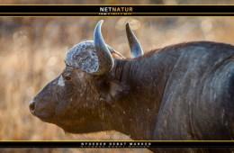 Verdens største bøffel