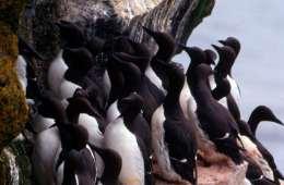De grønlandske lomvier beskyttes