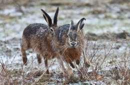 Haren - agerlandets langørede sprinter